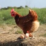 Happy hens ...healthy eggs!